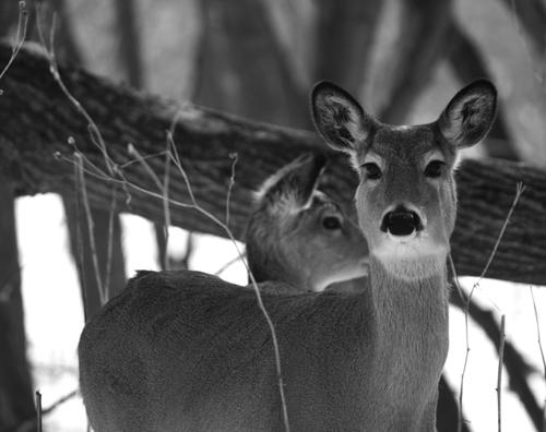 DeerWinterBW-web