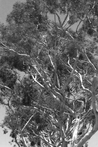 eucalyptus1BW
