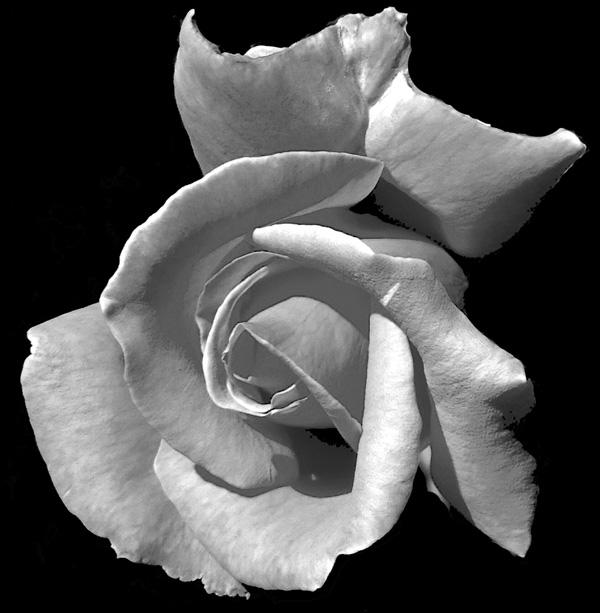 Rose-web-BW