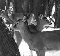 Four Deer in Winter
