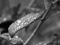 Diamond Leaf