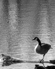 One-Legged Goose